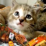 kitten-bento