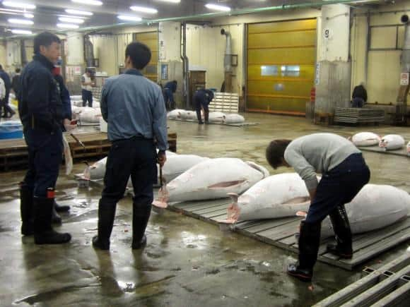 Tsukiji Fish Market Live Tuna Auction Tokyo Japan
