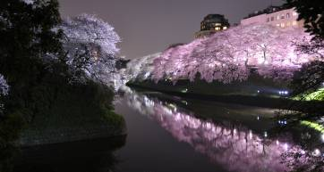 chidorigafuchi night cherry blossom