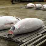 9 Things you Should Know Before Visiting the Tsukiji Fish Market Tuna Auction