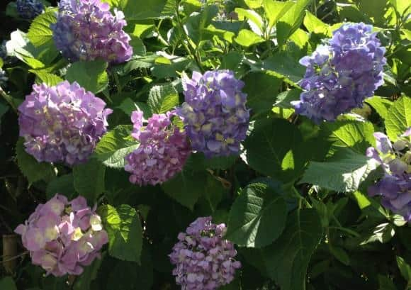Hydrangea Festivals are a big part of the June Festival Calendar