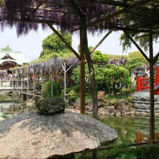 Kameido Tenjin Wisteria Festival
