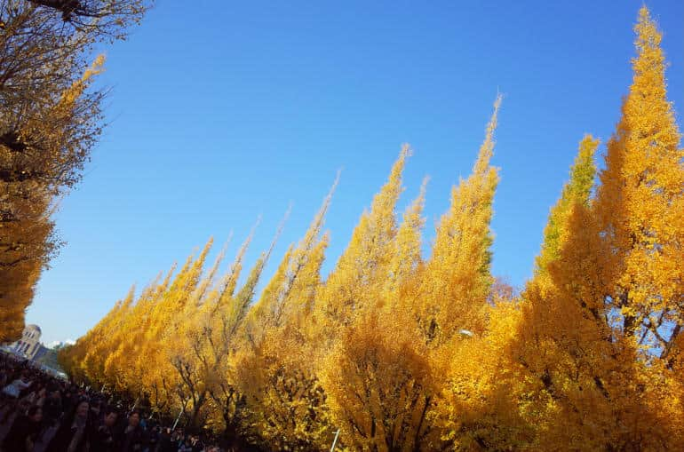 Gingko trees at Jingugaien