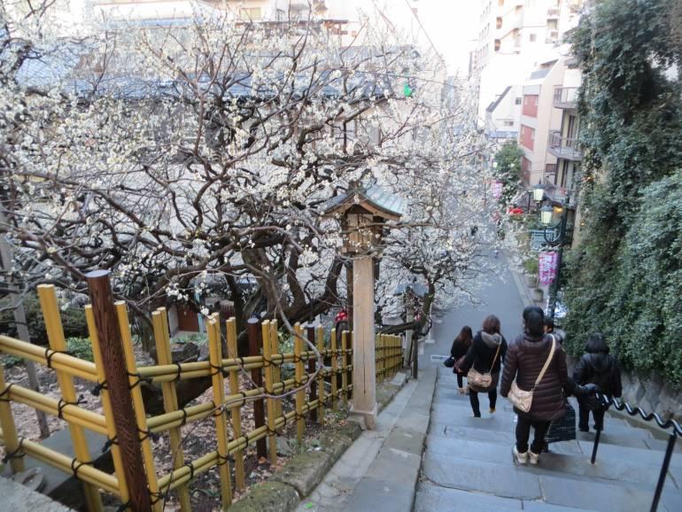 Yushima Tenjin plum blossoms