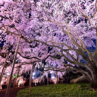 Cheapo Weekend for March 24-25: Cherry Blossoms!
