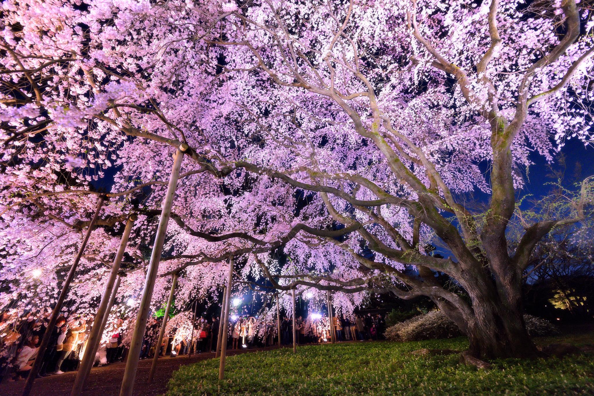 Night Light Cherry Blossom 43