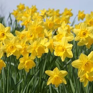 Kasai Park Daffodil Festival