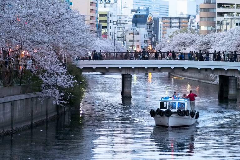 hanami cherry blossoms hanami tokyo