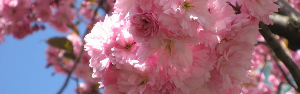 Yaezakura: Late-Blooming Cherry Trees in Tokyo