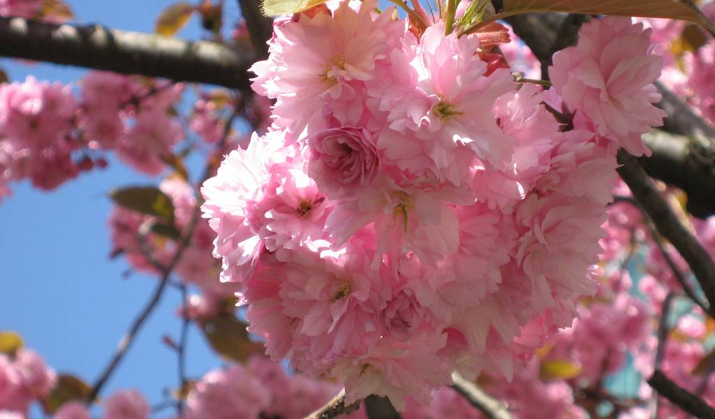 Yaezakura Where To Enjoy Late Blooming Cherry Trees In Tokyo