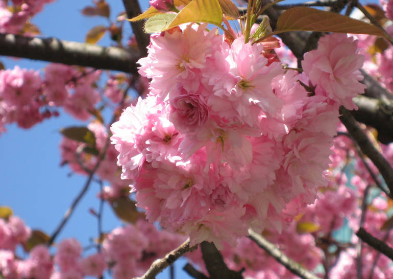 late-blooming cherry trees