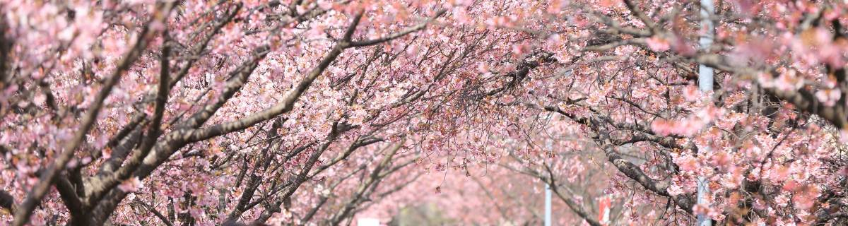 Best Spots to See Cherry Blossoms in Tokyo (and Some Less-Crowded Options)