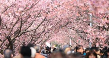 Top Spots For Cherry Blossom