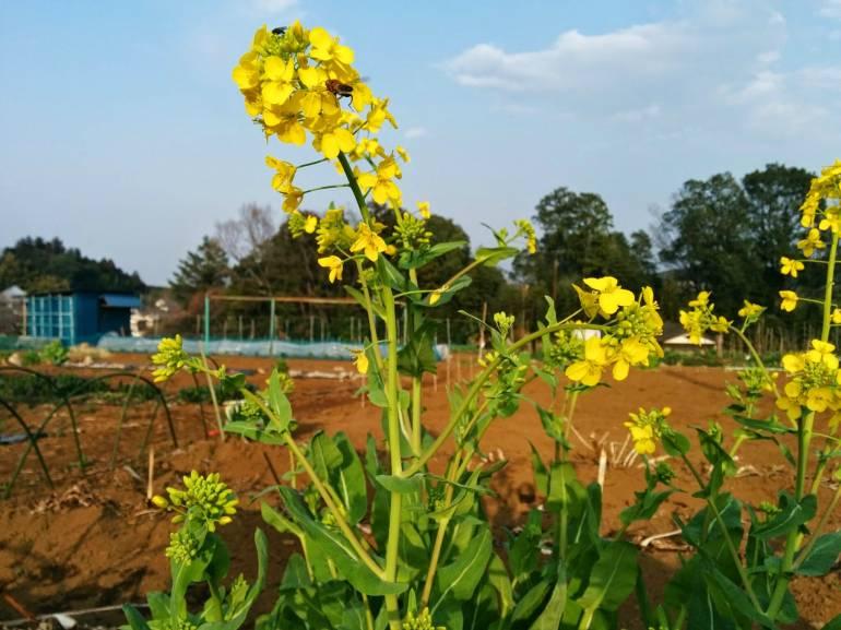 rape flowers in Kinchakuda