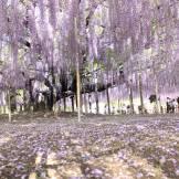Wisteria at Ashikaga Flower Park - flowers tokyo