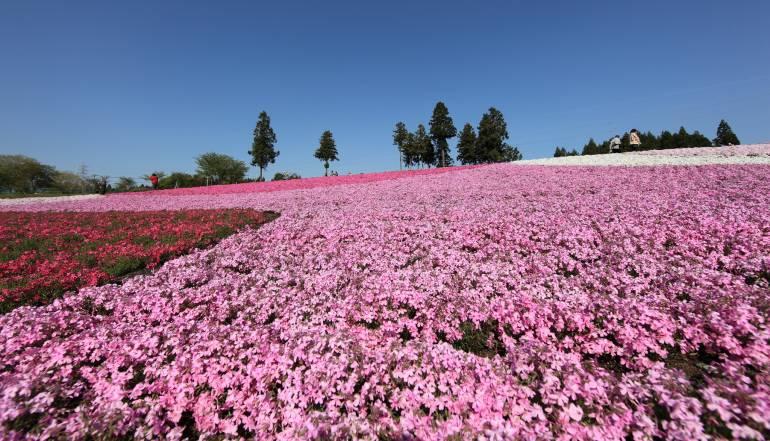 Shibazakura at Chichibu - flowers tokyo