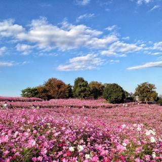 Cosmos Flower Festival at Showa Kinen Park