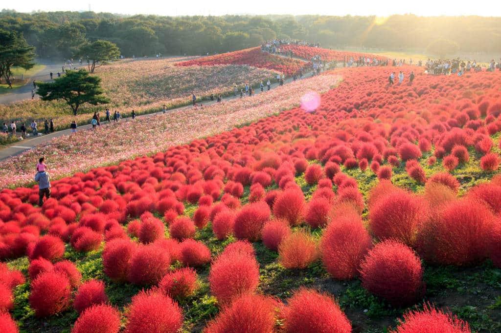 autumn flowers japan