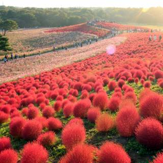 Chrysanthemums and Other Autumn Flowers in Japan
