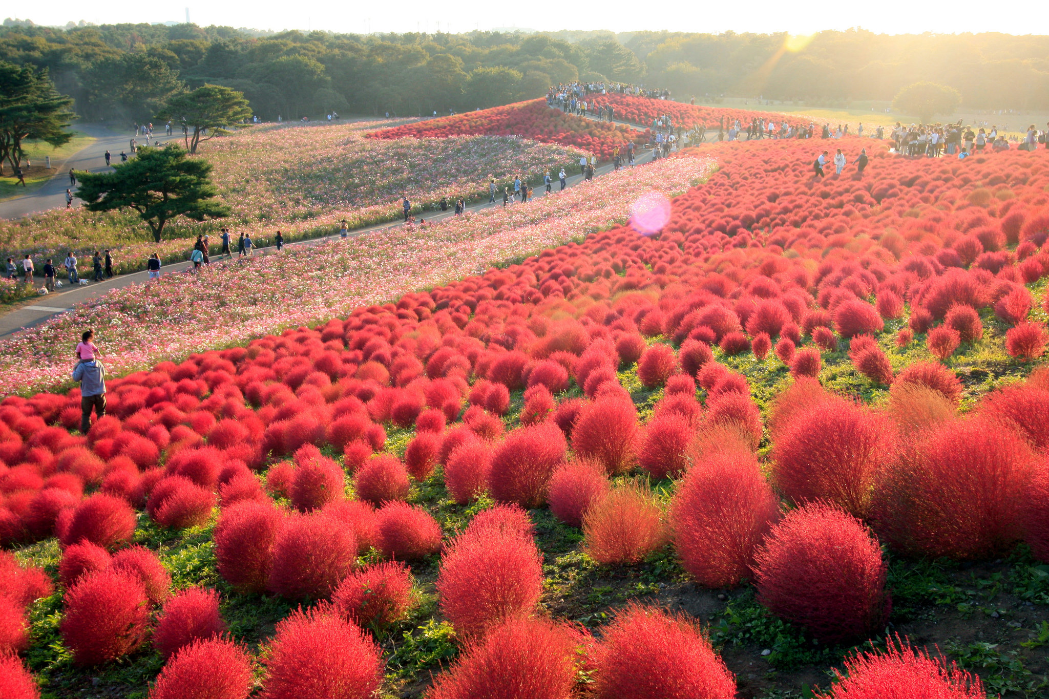 Japan Fall Flowers Chrysanthemums Roses Cosmos And More Tokyo