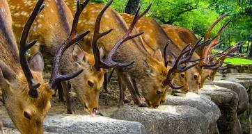 Nara deer with Seishun 18 ticket