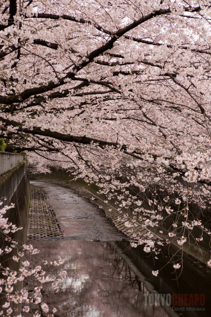 sakura cherry blossoms hanami