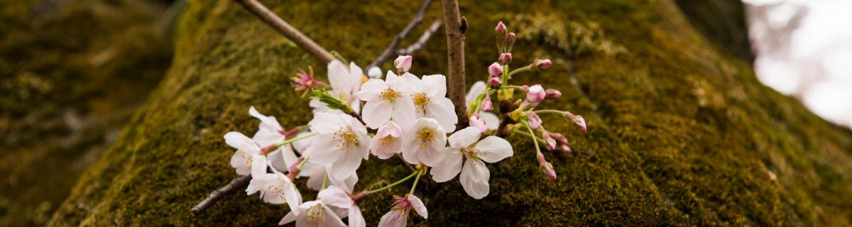 Five Cherry Blossom Hikes from Tokyo