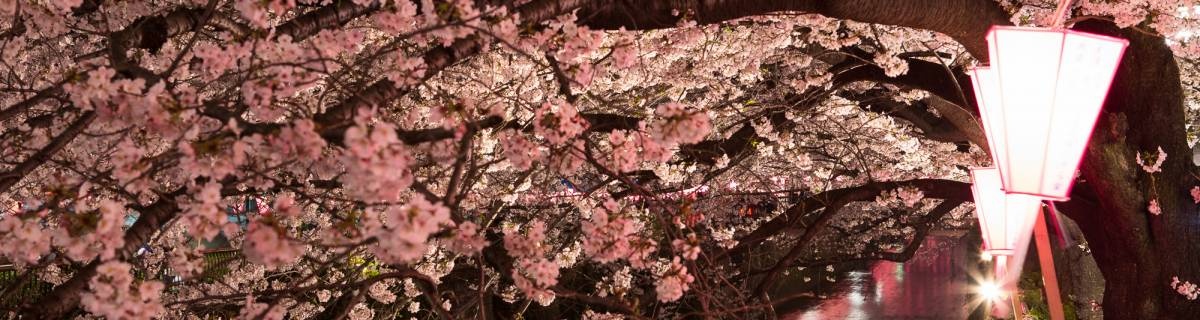 Meguro River—Tokyo's Most Stunning Cherry Blossom Transformation?