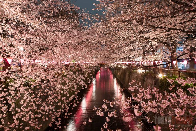 Japan Cherry Blossom Festival Canceled