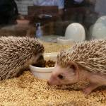 Hedgehogs Roppongi