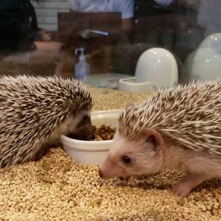 Harry Harinezumi Cafe (Hedgehog Cafe)