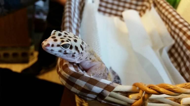 Roppongi Hedgehogs Gecko