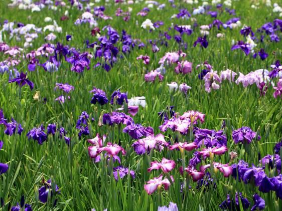 iris festival tokyo
