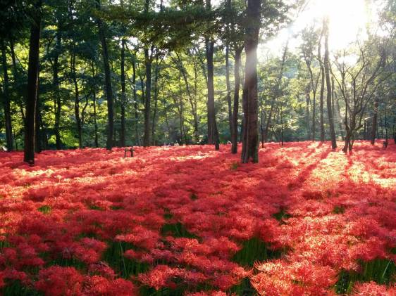 red spider lily flowers in Kinchakuda