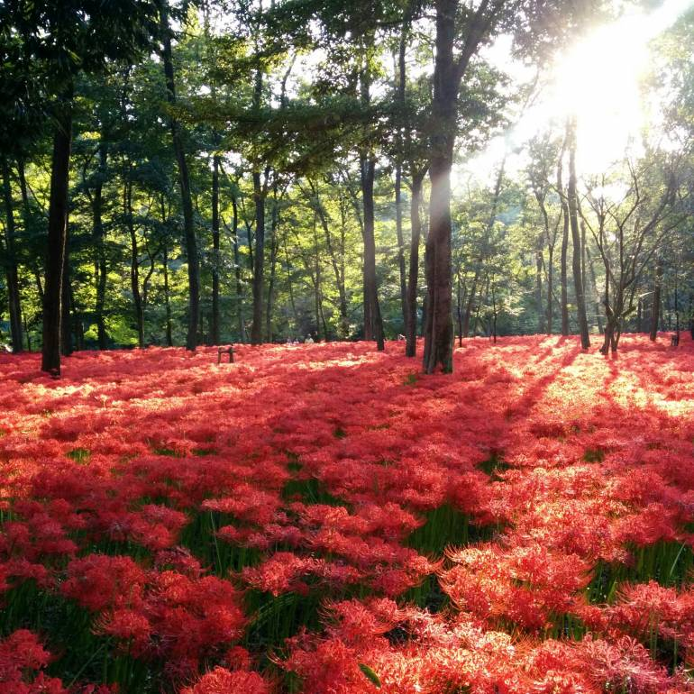 red-spider-lily-festival
