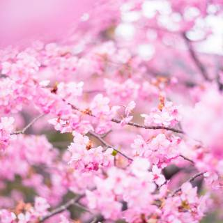 Miura-kaigan Cherry Blossom Festival
