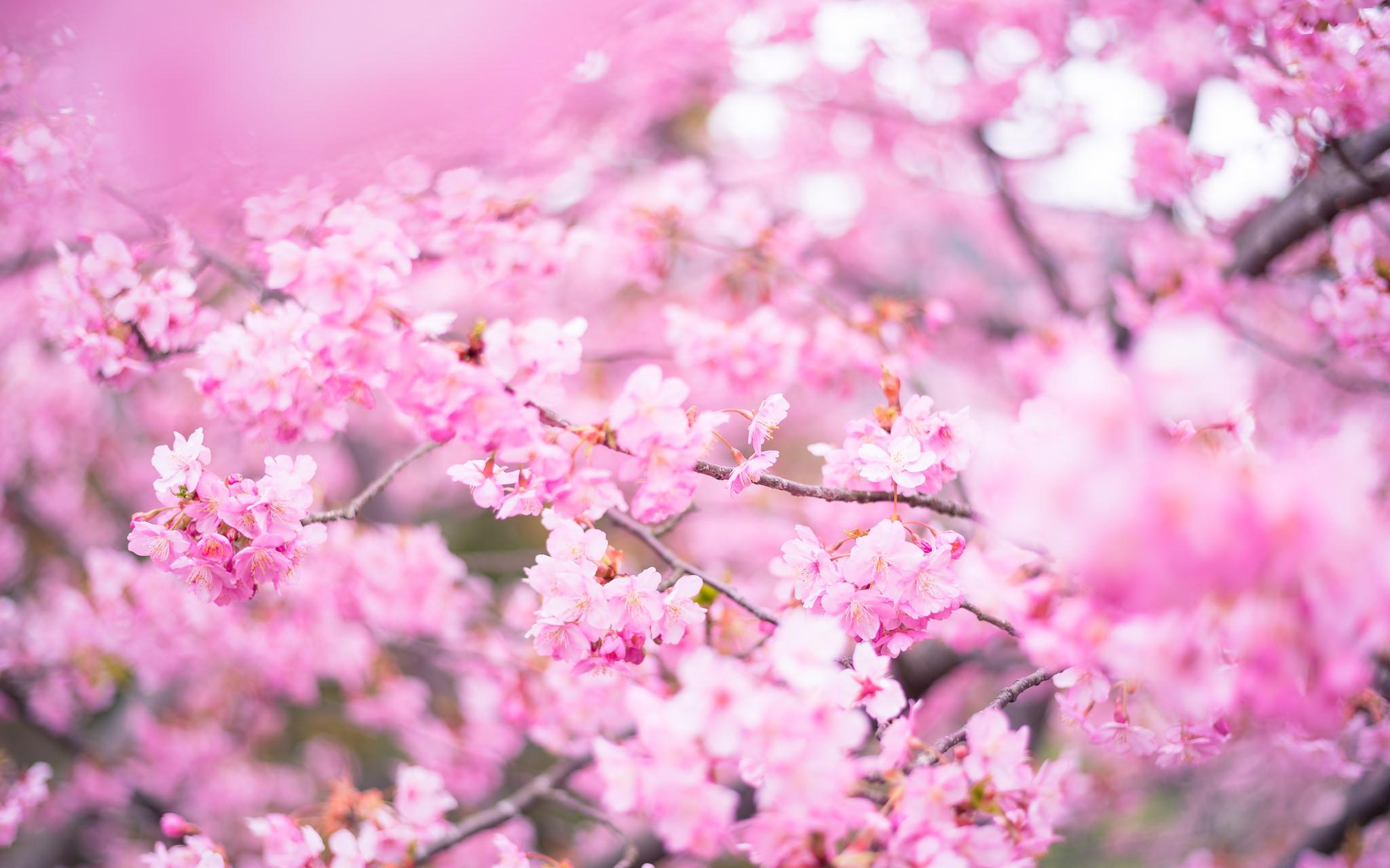 cherry blossom festival 2020 - HD2048×1280