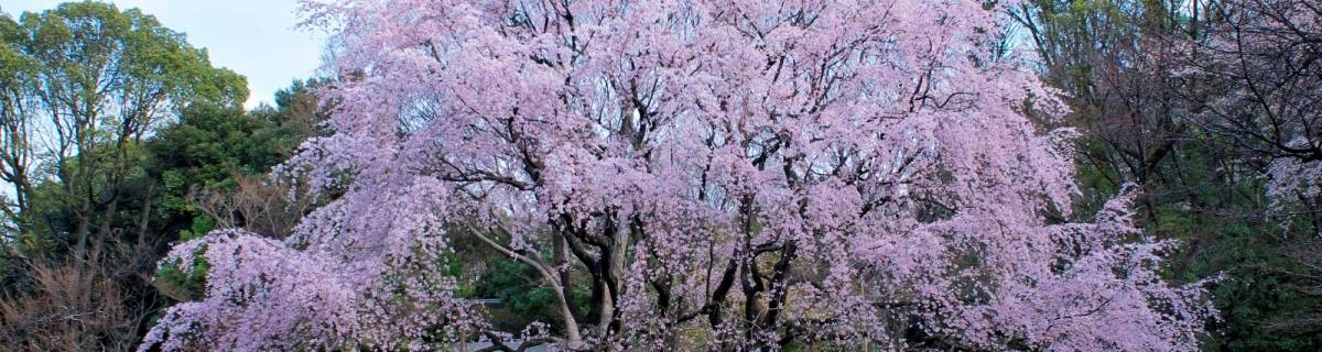 Cherry Blossom Night River Cruise and Guided Walking Tour