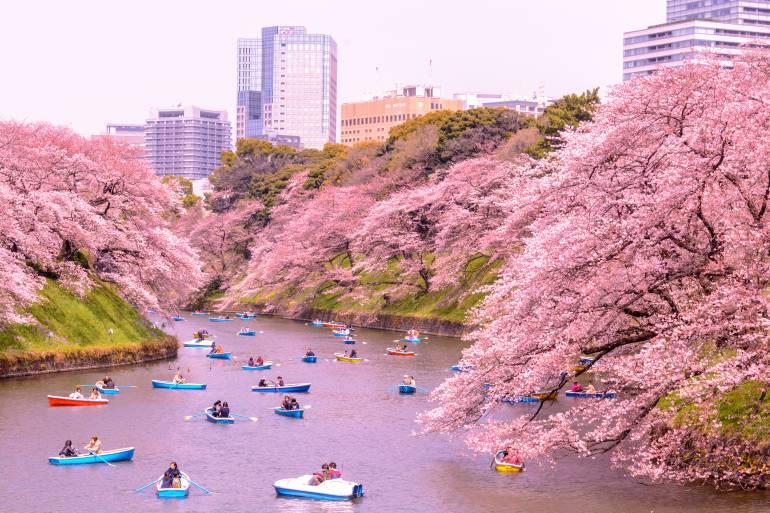 tokyo cherry blossoms festivals