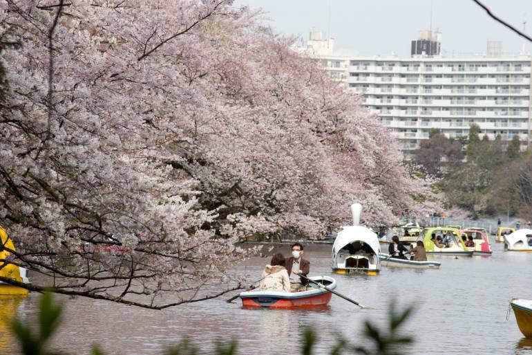 sakura inokashira park