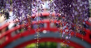 wisteria kamerido tenjin