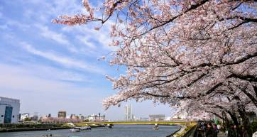 tokyo cherry blossoms sumida