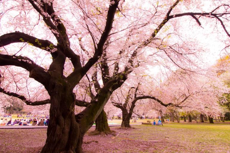 Kinuta Park Sakura