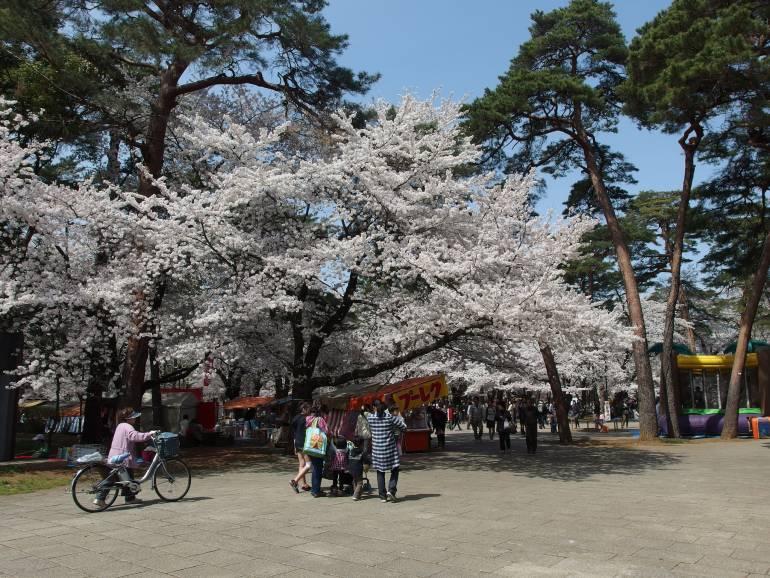 Omiya Koen Sakura