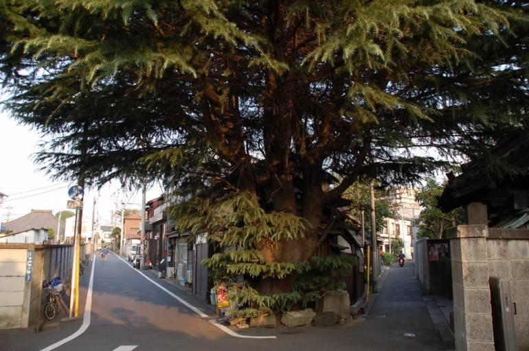 Himalayan Cedar in Yanaka