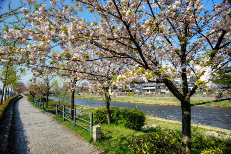 Cherry blossoms lining the Kanda River path