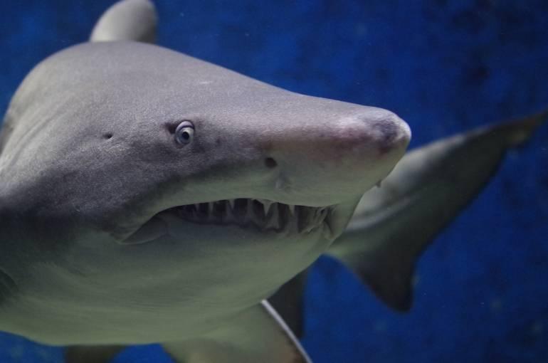 shark japan
