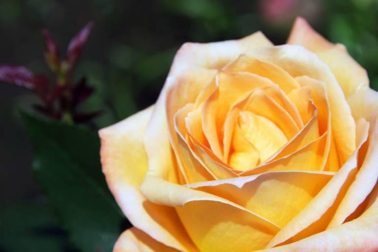 Hibiya Park Roses