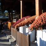 Yushima Tenjin Shrine Chrysanthemum Festivals