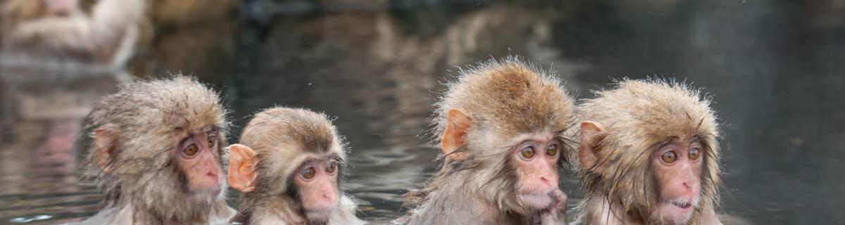 In Search of Snow Monkeys: Tokyo to Jigokudani Monkey Park